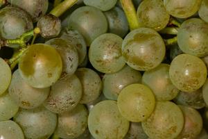 черные точки на винограде