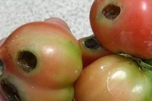 дырки в томатах