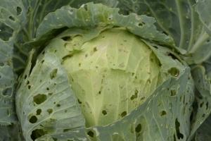 на листьях капусты дырки