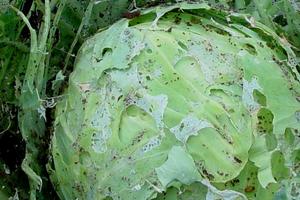 на листьях капусты появились дырки