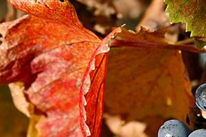 на винограде засохли листья