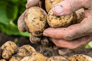 подкормка картофеля после посадки