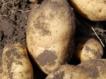Чем удобрять картофель во время и после посадки?