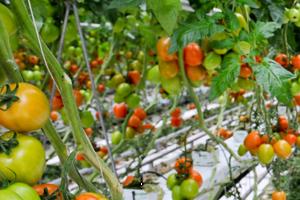 подкормка томатов в период созревания плодов