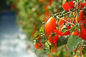 подкормка томатов в теплице во время плодоношения