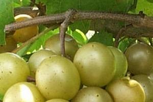 подкормка винограда коровяком
