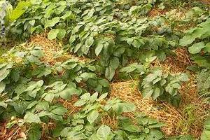 посадка картофеля под сено