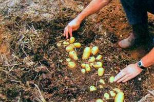 Посадка картофеля под солому — что должен знать опытный огородник?