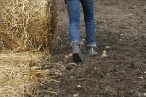 посадка картошки под солому