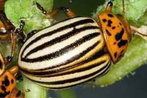 препараты от колорадских жуков