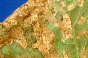ржавые пятна на листьях огурцов