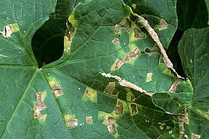 темные пятна на листьях огурцов