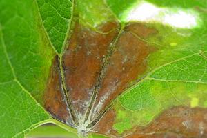 у винограда сохнут края листьев