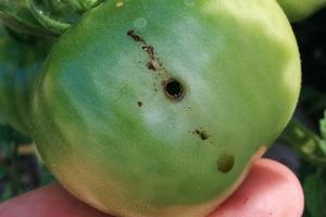 в помидорах дырки