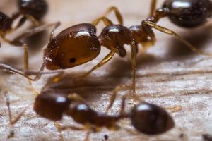 в теплице завелись муравьи