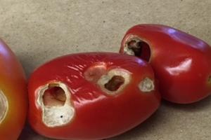 в томатах дырки
