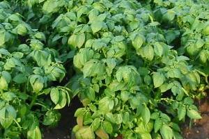 высокая ботва у картофеля