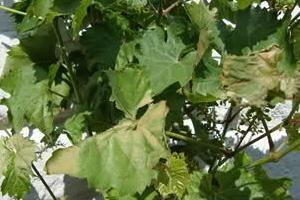 засохли листья на винограде