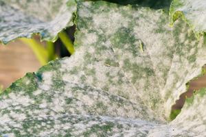 белеют листья огурцов