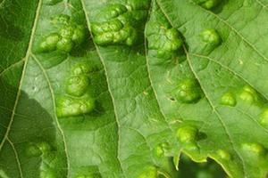 бугристые листья у винограда