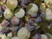 Почему чернеют ягоды винограда?