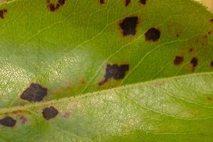 черные пятна на листьях груши