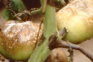 фитофтора на помидорах в огороде