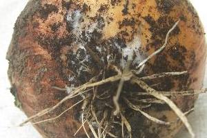 гниет лук в земле