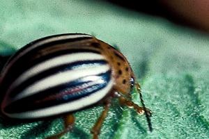горчица и уксус против колорадского жука