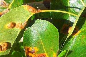 на листьях груши ржавчина