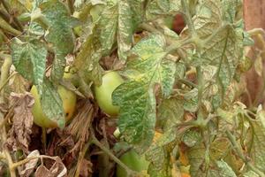 на помидорах паутинный клещ