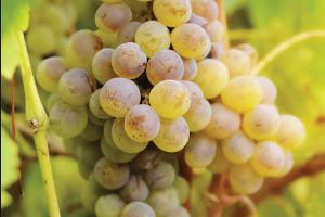 на винограде паутинный клещ