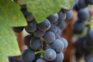 на ягодах винограда паутинный клещ