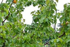 не дает плоды абрикос