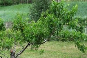 не дает плоды персик