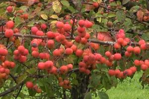 не дает плоды яблоня