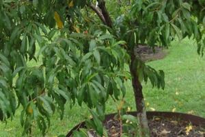 не плодоносит персик