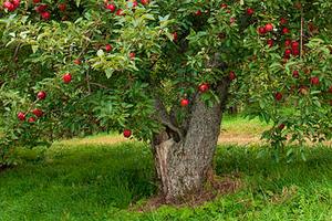 не плодоносит яблоня