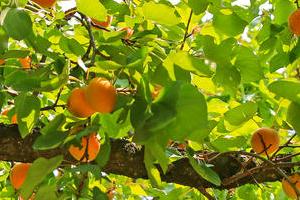 опрыскивание абрикоса медным купоросом