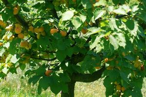 опрыскивание абрикоса осенью