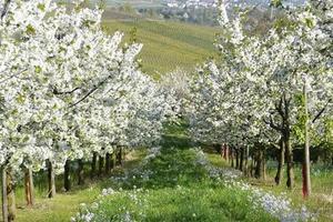 опрыскивание деревьев весной