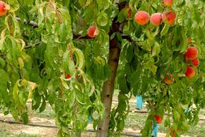 опрыскивание персика мочевиной