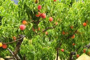 опрыскивание персика весной