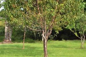 Опрыскивание персика — как спасти урожай?