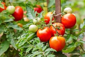 опрыскивание томатов марганцовкой