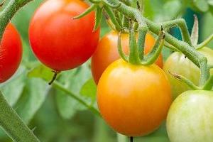 Как правильно опрыскивать томаты?