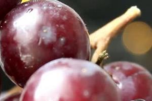 опрыскивание винограда мочевиной