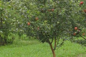 опрыскивание яблонь перед цветением