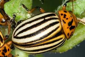 от колорадского жука горчица и уксус
