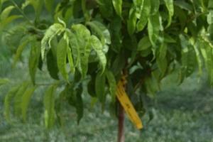 персик не дает плоды